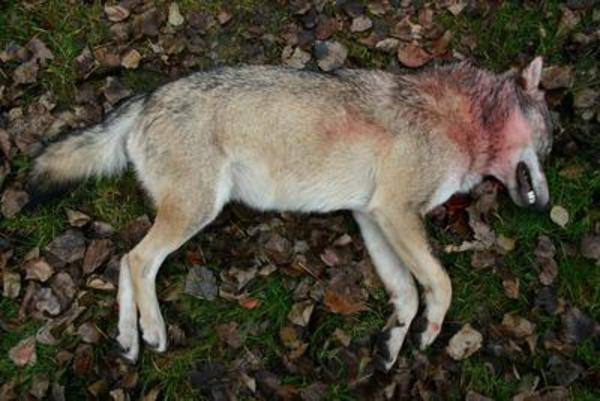 Wolf Tot